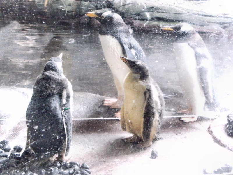 Penguins in the Polar Zone
