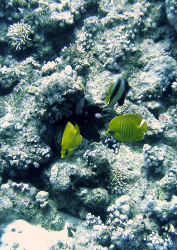 Angel fish on the reef