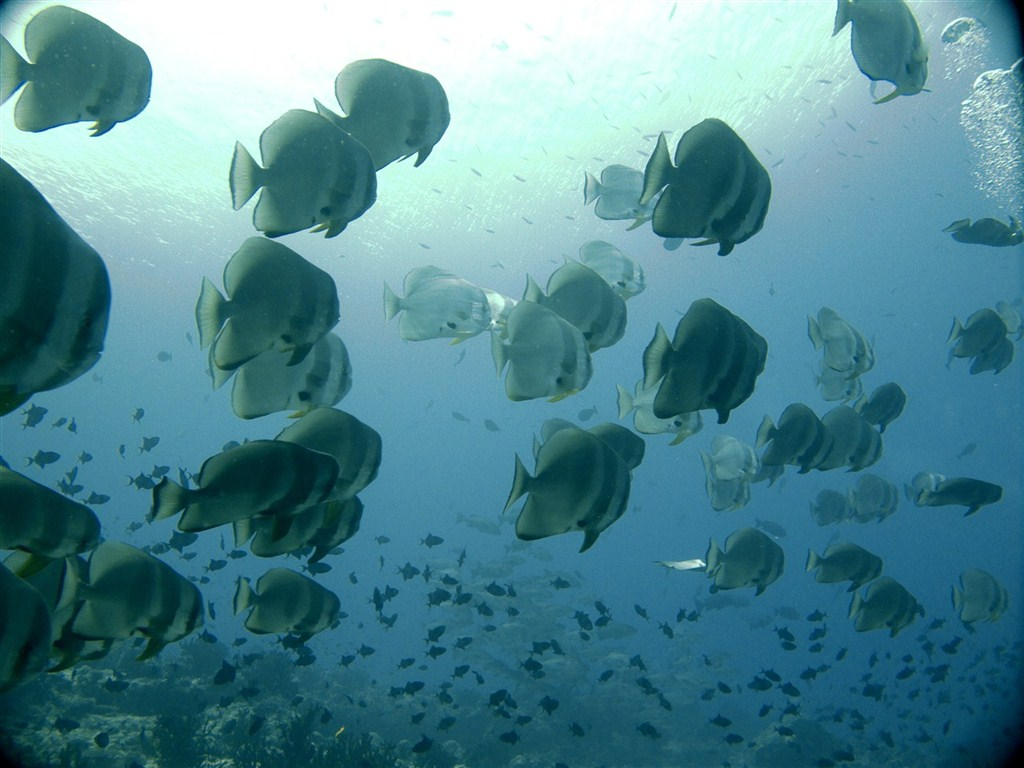 Shoal of Batfish